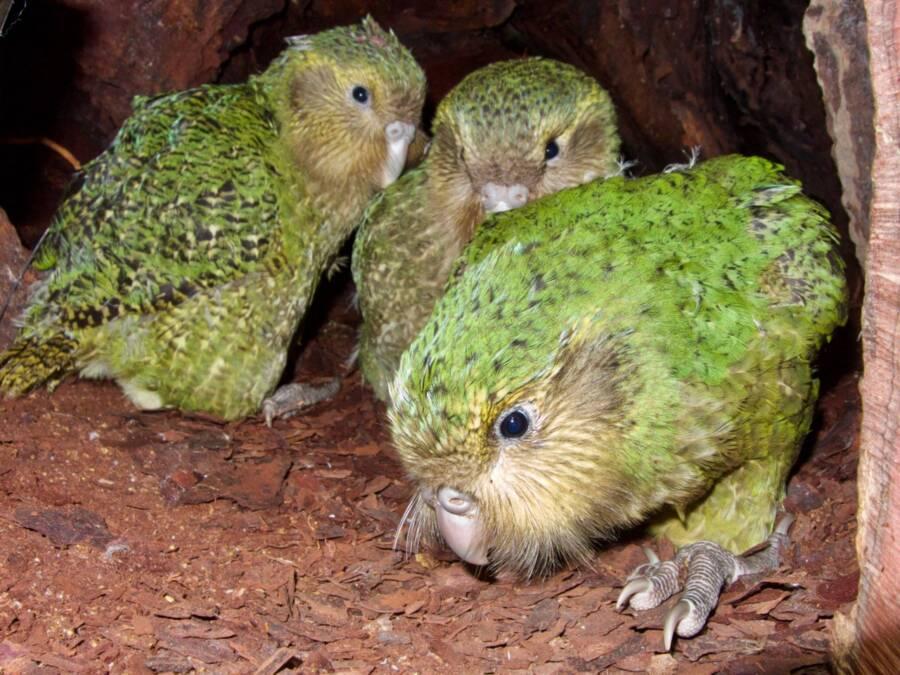 Kakapo Birds