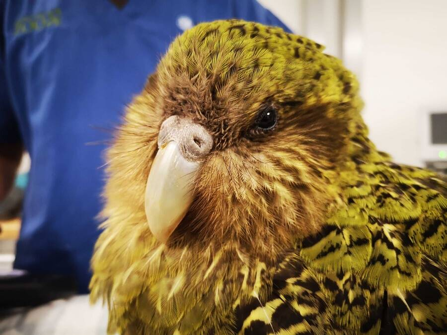 Kakapo Closeup