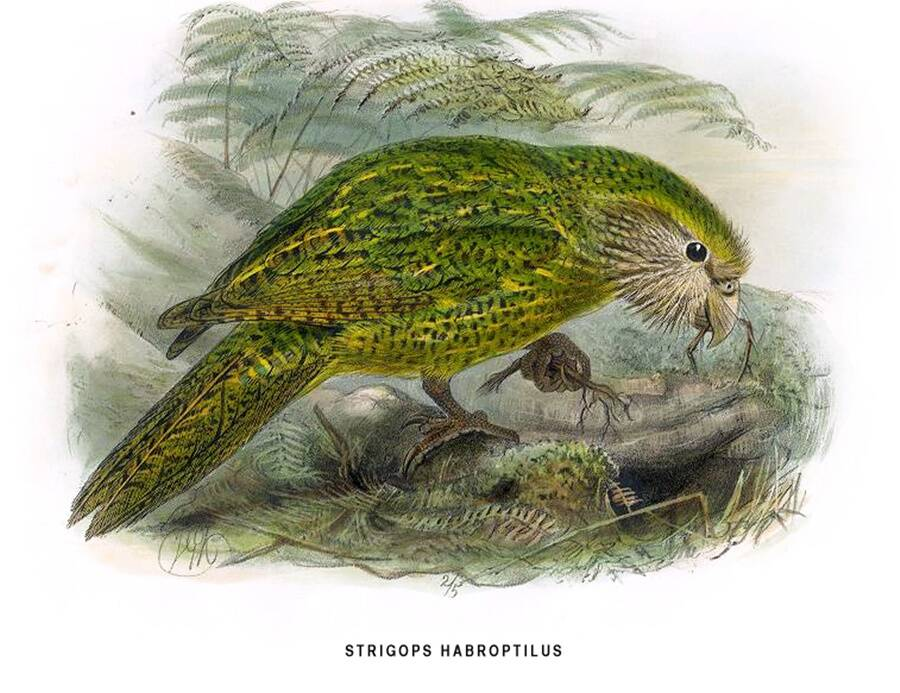 Kakapo Illustration