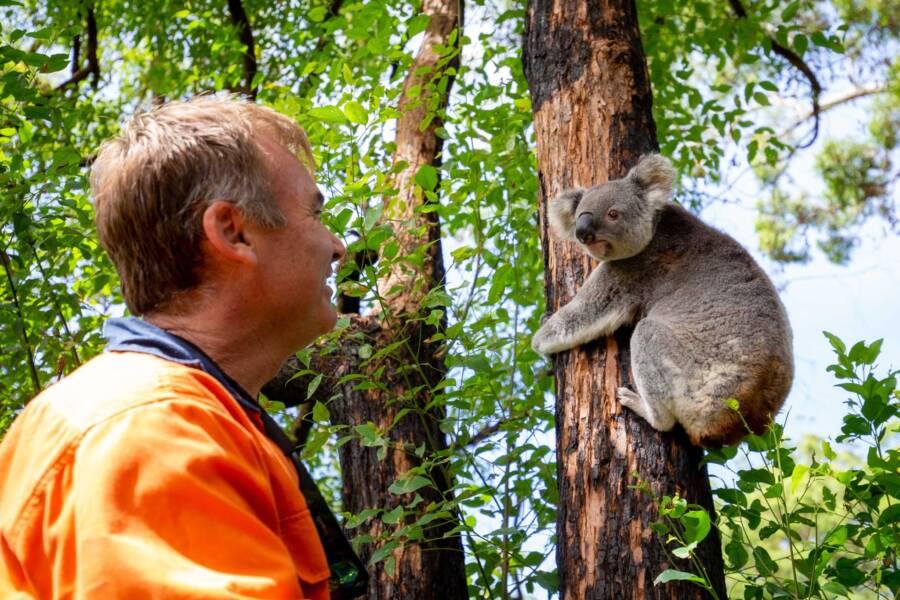 Koala And Rescuer