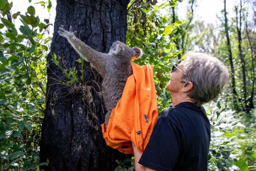 Koala Hanging On Tree