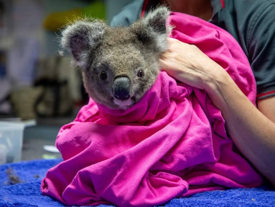 Koala In Blanket