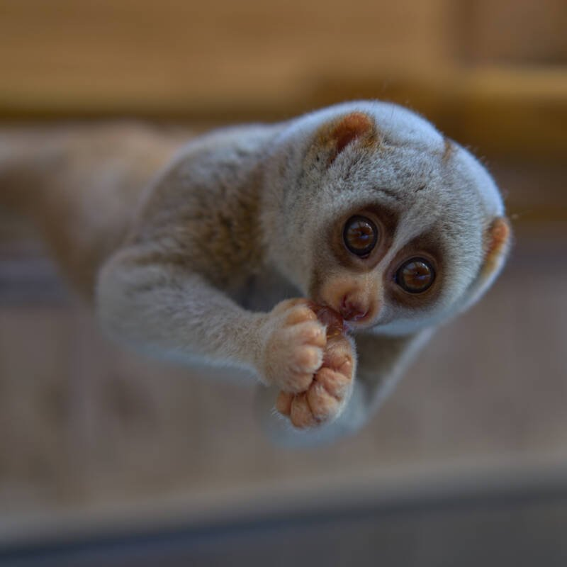Light Gray Loris Eating