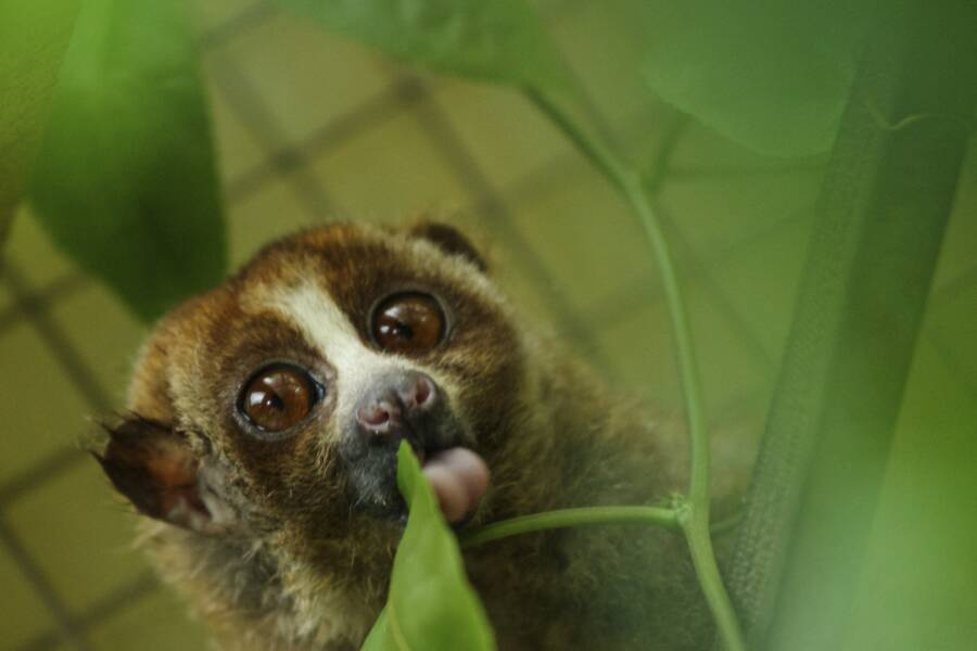 Loris Sticks Out Tongue