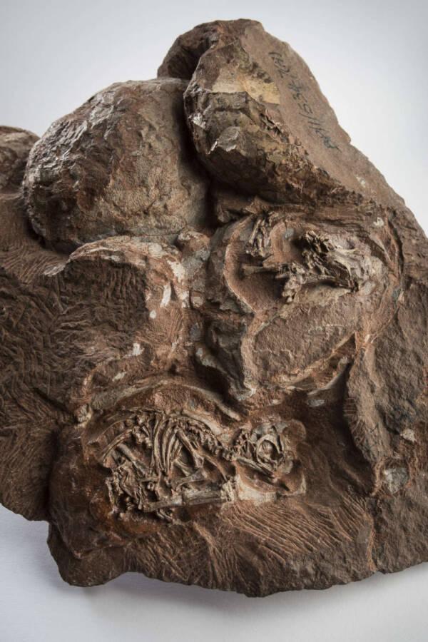 Massospondylus Carinatus Fossil