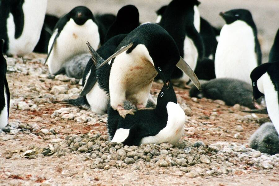 Mating Adelie Penguins