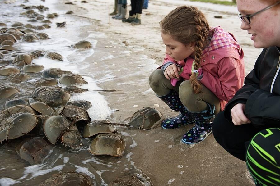 Piles Of Horseshoe Crabs