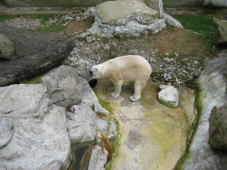 Polar Bear At Neumunster Zoo