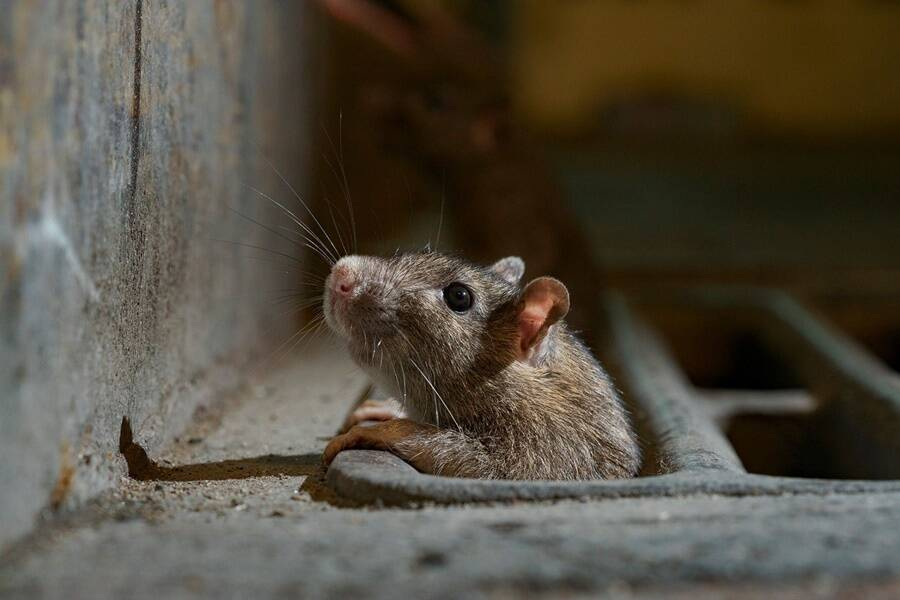 Rat Crawling Out Of Sewer