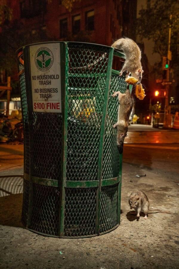 Rats And Trash Bin