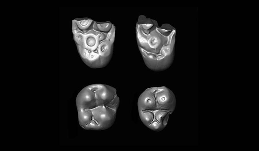 Scans Of The Ucayalipithecus Perdita Teeth
