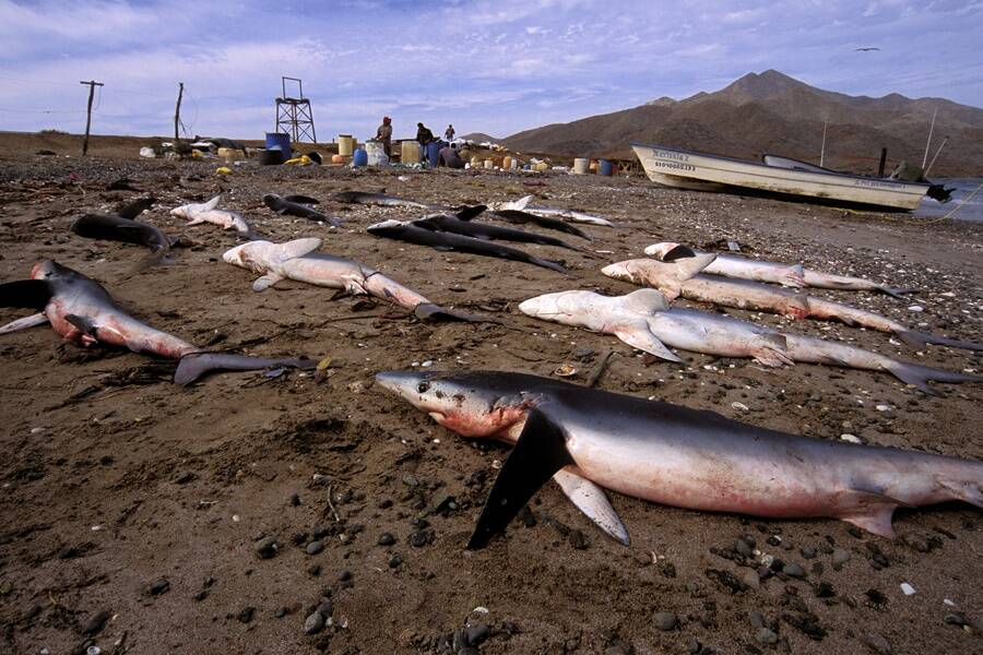 Shark Finning Site