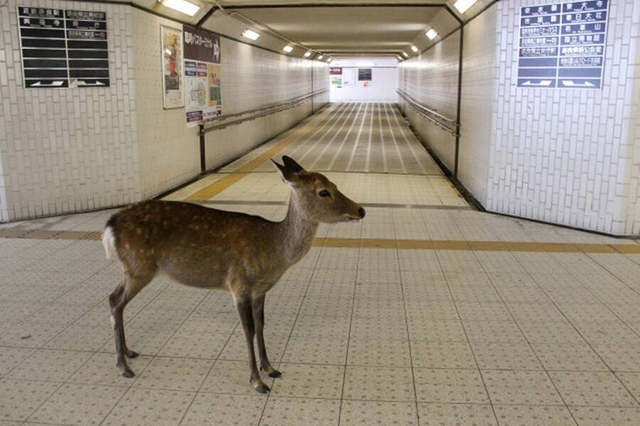 Sika Deer At Nara Park