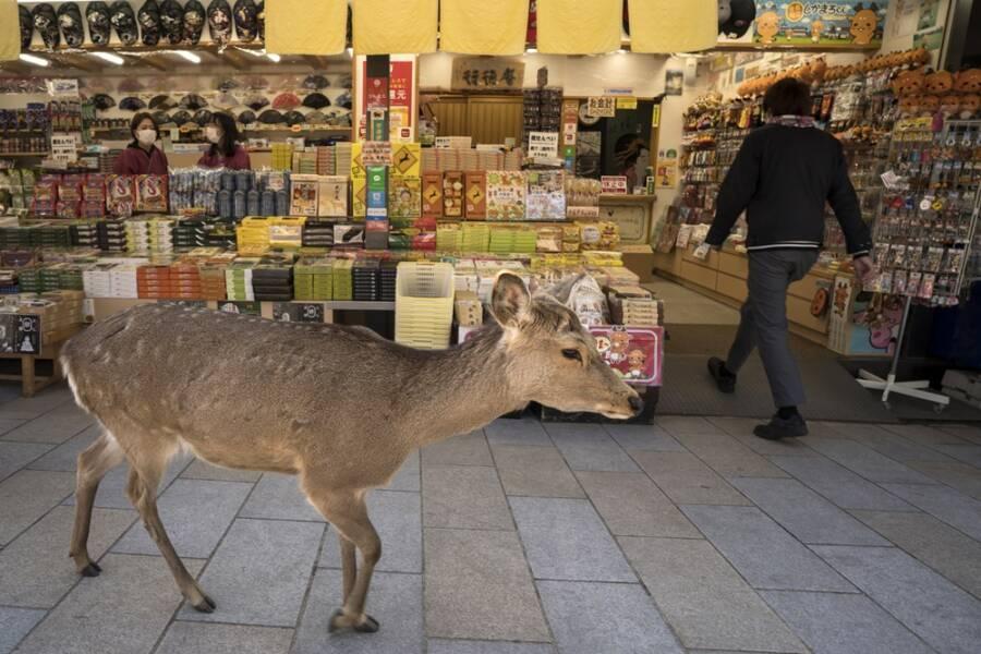Sika Deer Near Store