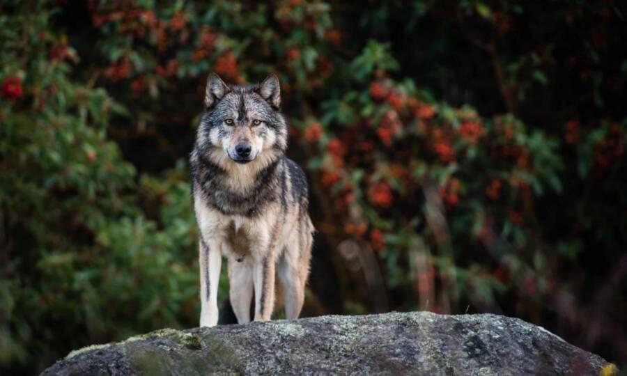 Takaya Vancouver Island Wolf