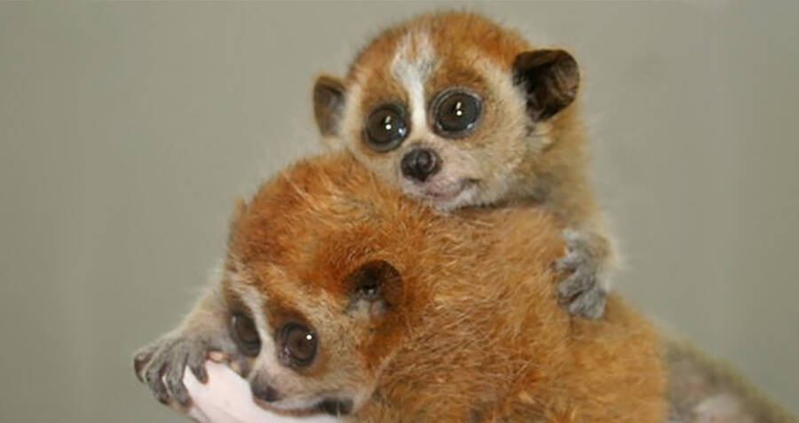 The Slow Loris: Meet The Big-Eyed, Pint-Sized Primate Endangered For Being Cute