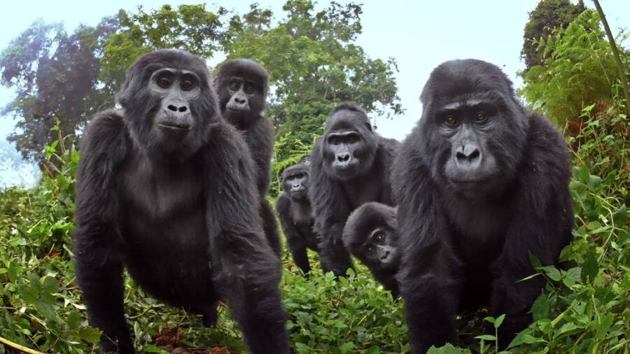 Ugandan Gorillas Looking At The Robot Gorilla