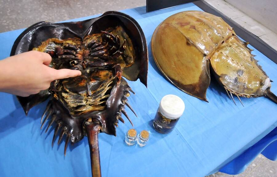Underbelly Of A Horseshoe Crab