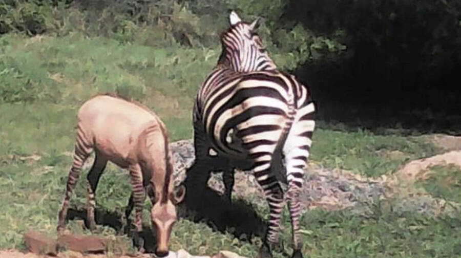 Zonkey And Zebra Grazing
