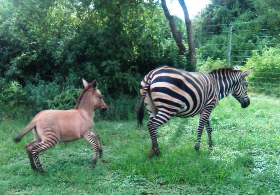 Zonkey Foal And Zebra Mother
