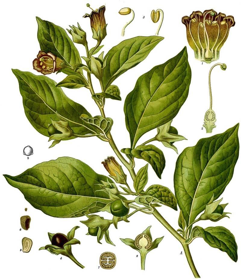 Belladonna Poison