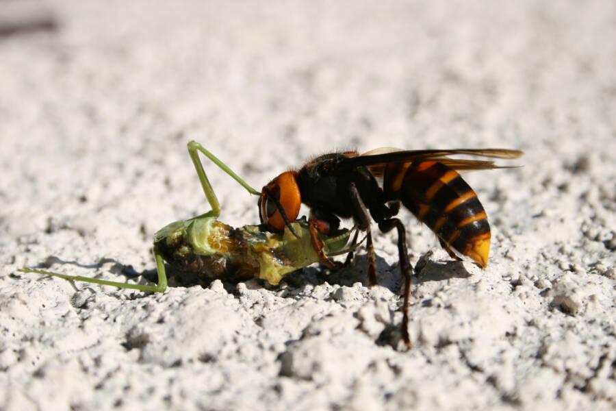 Giant Hornet Feeding On Mantis