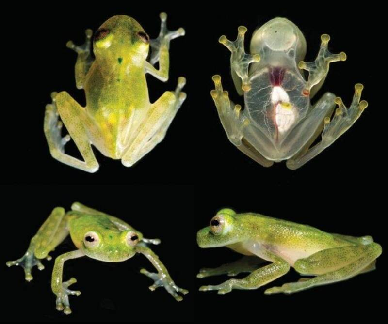 Glass Frog Heart
