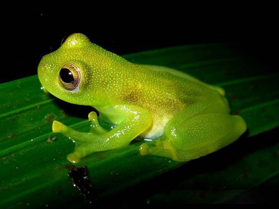 Glass Frog On  A Leaf