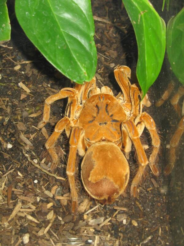 Goliath Birdeater Inside Cage