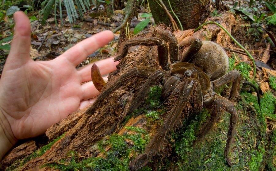 Goliath Birdeater Tarantula
