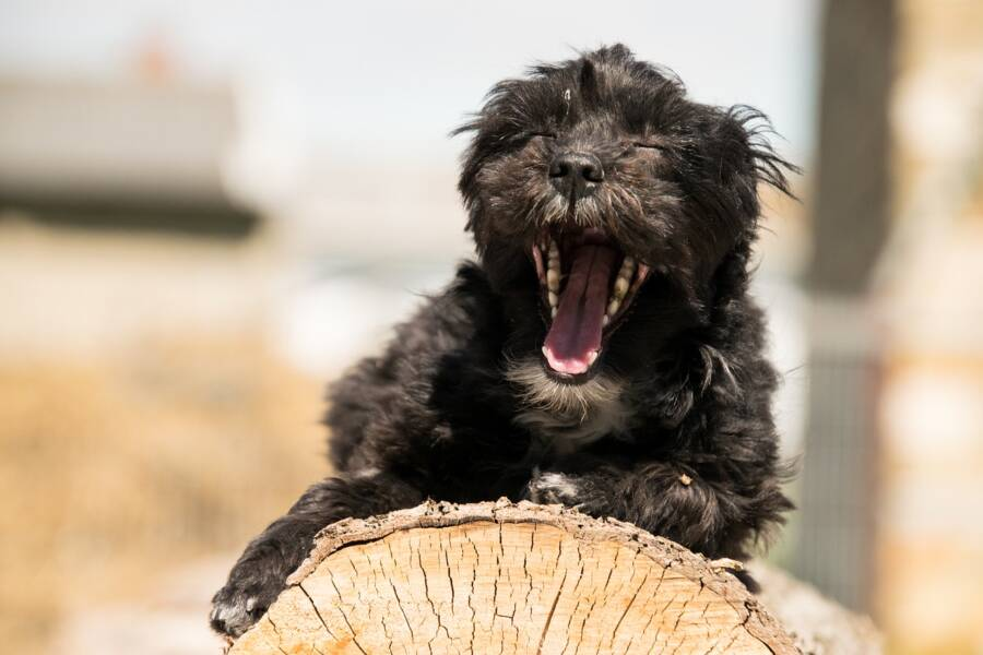 Puppy Yawning