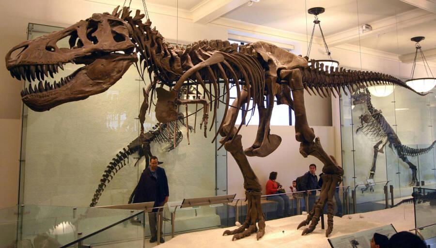 Reconstructed Tyrannosaurus Rex Fossils