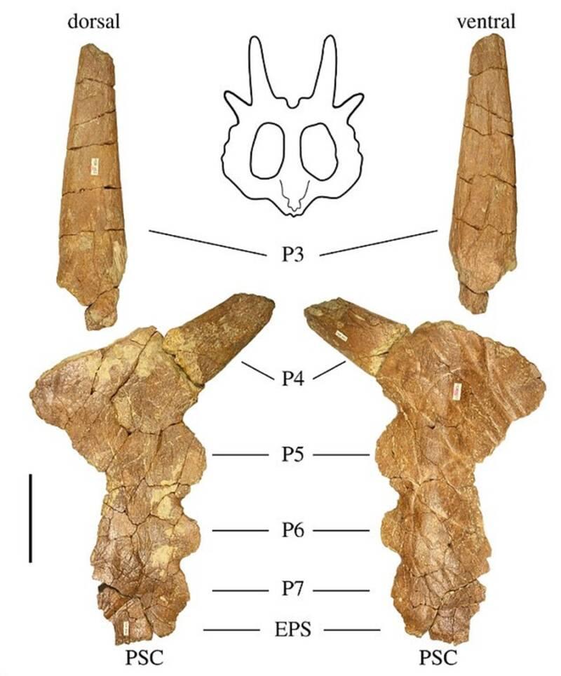 Stellasaurus Horns