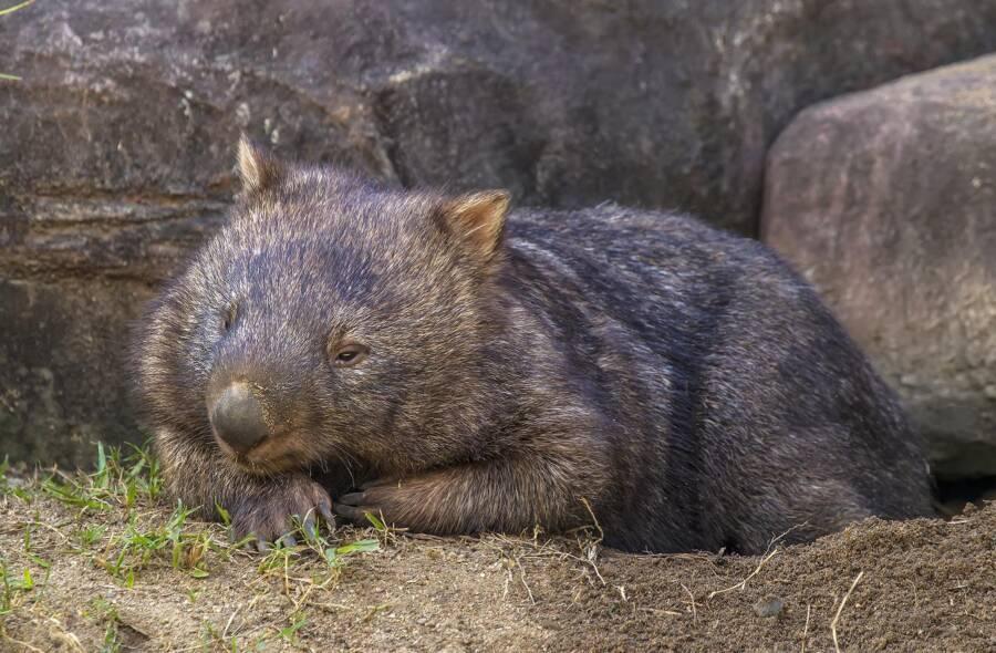 Australian Zoo Wombat