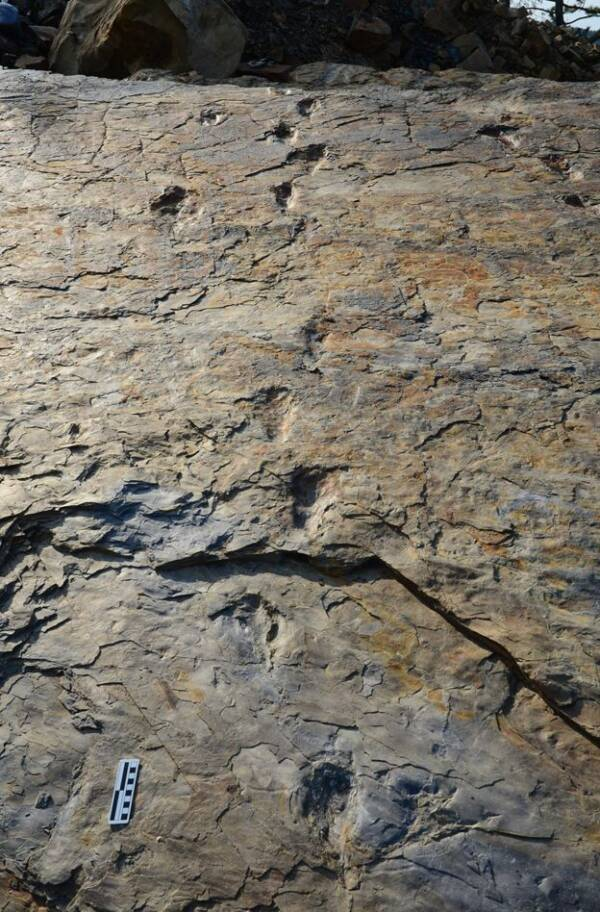 Diagonal View Of Batrachopus Grandis Trackways