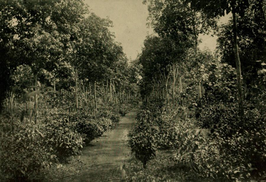 Fordlândia Hevea Brasiliensis Rubber Trees