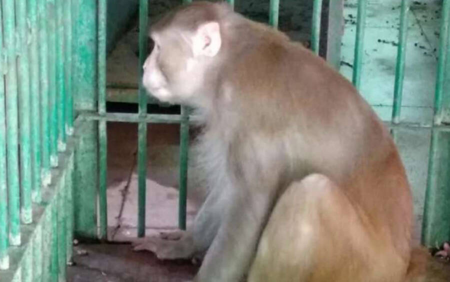 Kalua The Monkey In A Zoo Cage