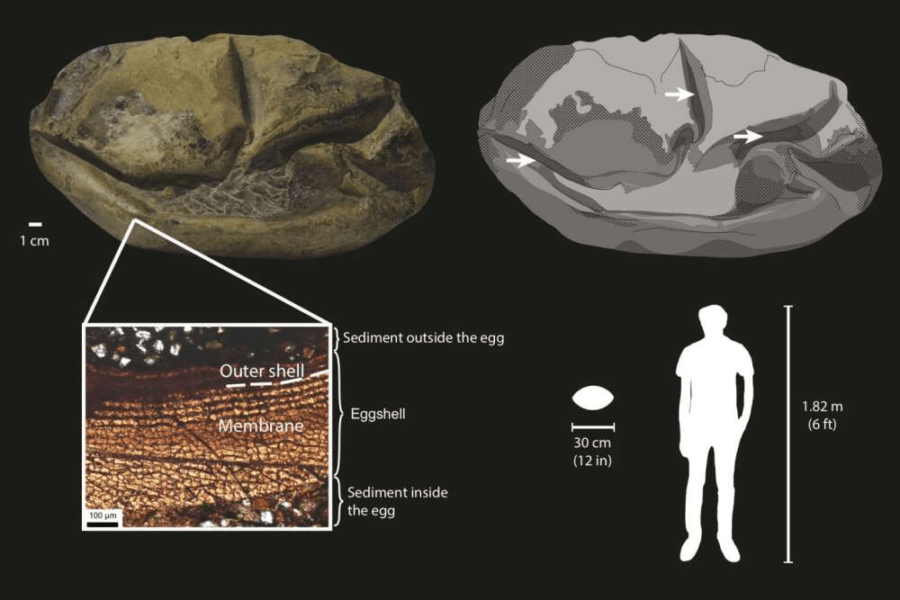 Mosasaur Fossil And Egg Diagram