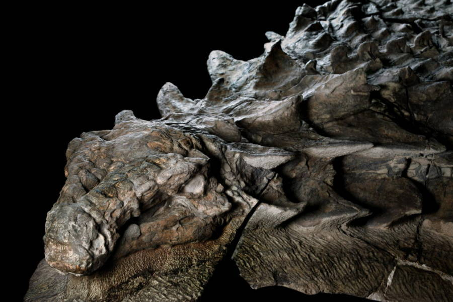 Fóssil dos Nodossauros