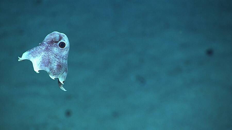 Rare Dumbo Octopus