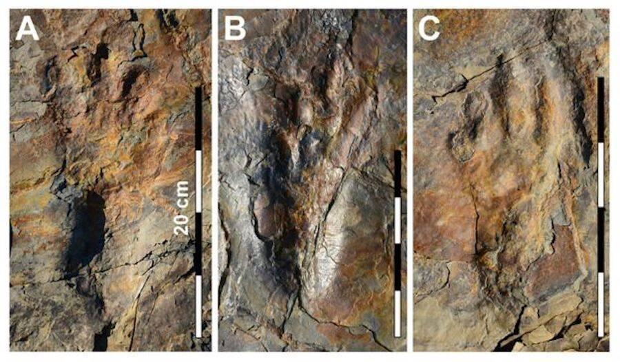 Three Trackways Of Batrachopus Grandis Side By Side
