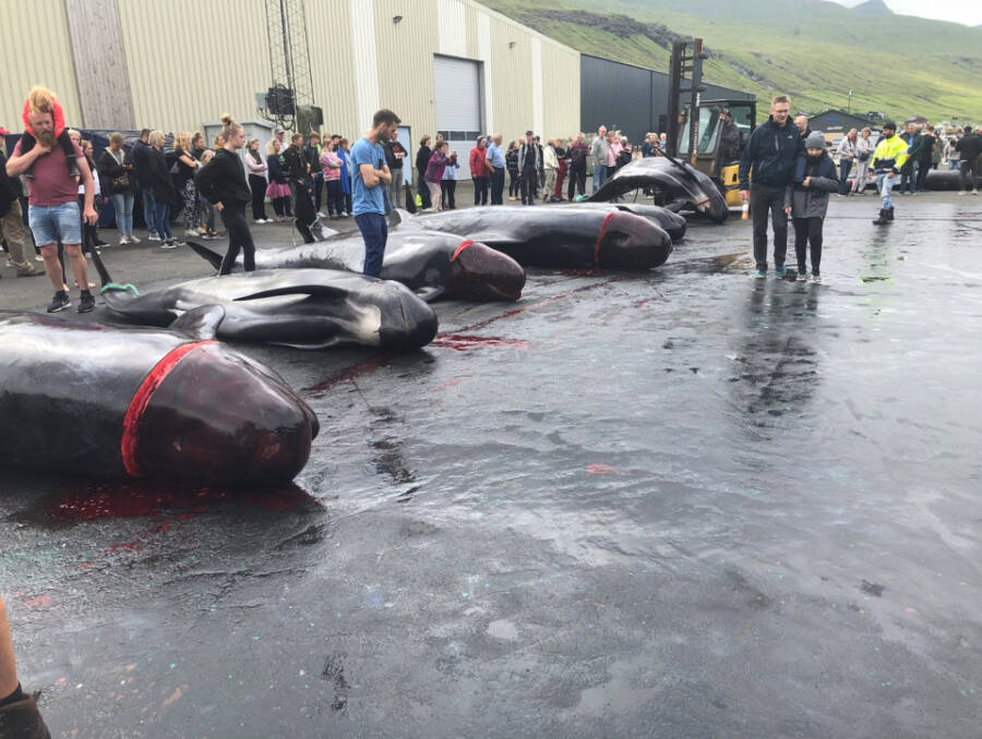 Danish Whaling Slaughter