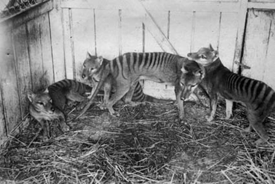 Family Of Thylacines