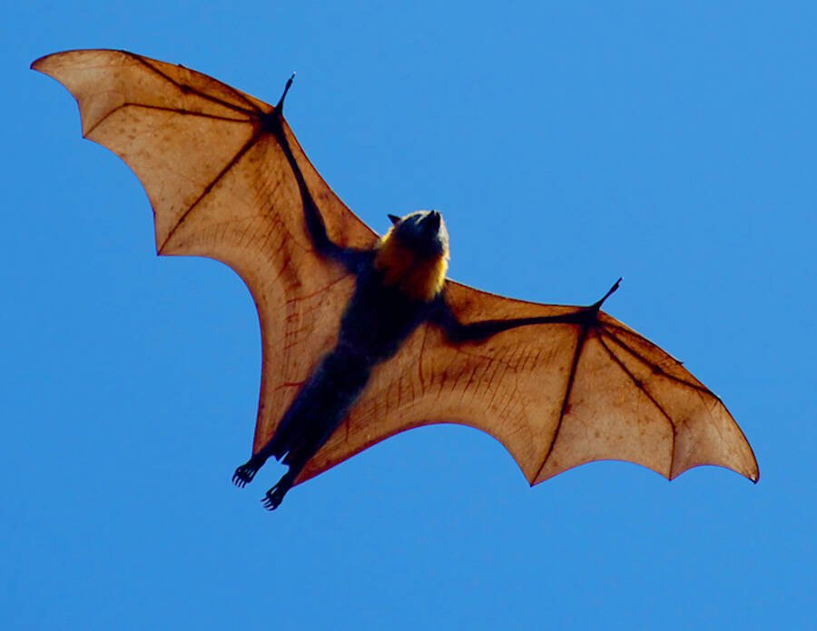 Flying Giant Golden Crowned Flying Fox