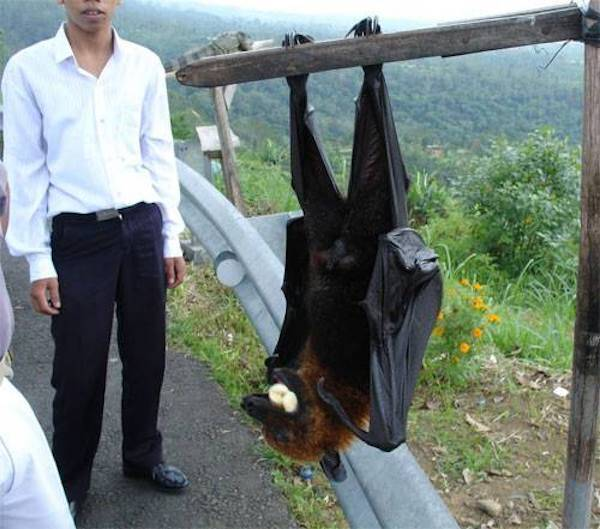 Giant Golden Crowned Flying Fox And Man