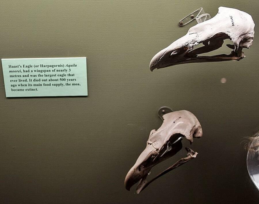 Haast Eagle Skull