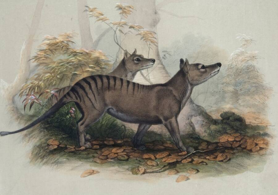 Illustration Of The Thylacine