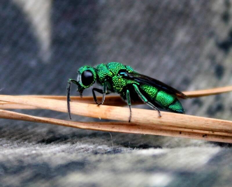 Modern Cuckoo Wasp