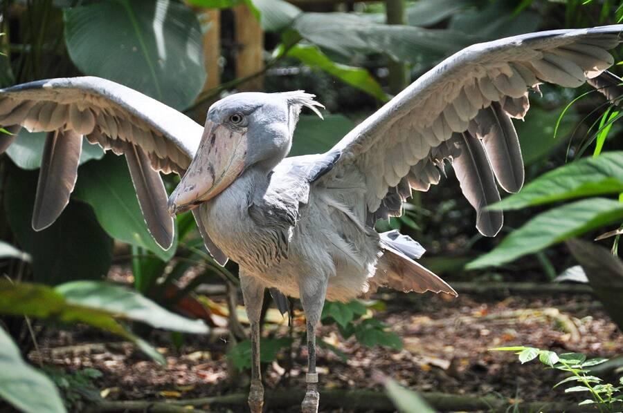 Shoebill Taking Flight