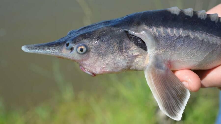 Sturddlefish Being Held